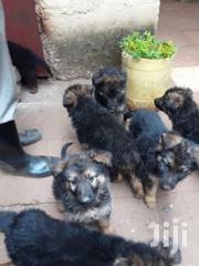 Longcoat German Shepherds | Dogs & Puppies for sale in Nairobi, Zimmerman