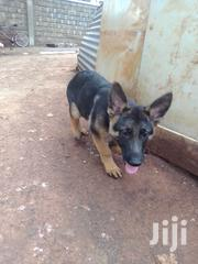 Good Healthy | Dogs & Puppies for sale in Kiambu, Karuri