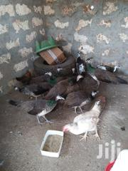 Mature Peacock | Livestock & Poultry for sale in Mombasa, Shanzu