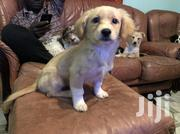 A Well Groomed Mixed Breed Dachshund | Dogs & Puppies for sale in Nairobi, Nairobi Central