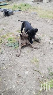 Baby Male Purebred Great Dane   Dogs & Puppies for sale in Machakos, Athi River