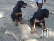 Rottweiler Puppies   Dogs & Puppies for sale in Mombasa, Port Reitz
