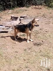 German Shepherd Male One Year Old | Dogs & Puppies for sale in Mombasa, Shanzu