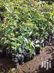 Mango Seedlings And Other Seedlings | Feeds, Supplements & Seeds for sale in Mombasa, Bamburi