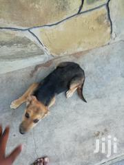 GSD Dog For Sale | Dogs & Puppies for sale in Mombasa, Bamburi