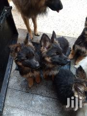 Baby Male Purebred German Shepherd Dog | Dogs & Puppies for sale in Nairobi, Ruai