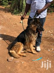 Male German Shepherd | Dogs & Puppies for sale in Nairobi, Kitisuru
