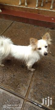 6 Month Old Japanese Spitz For Sale | Dogs & Puppies for sale in Nairobi, Zimmerman