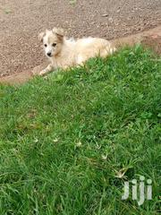 Baby Male Mixed Breed Japanese Spitz | Dogs & Puppies for sale in Nairobi, Kasarani