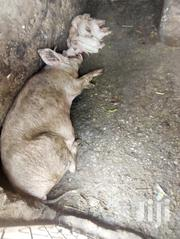Pigs For Sale | Livestock & Poultry for sale in Kilifi, Malindi Town