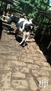 Grade Cow And Incalve | Livestock & Poultry for sale in Nyeri, Dedan Kimanthi