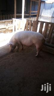 Ngecha Pigs Farm | Livestock & Poultry for sale in Nakuru, Gilgil