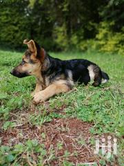 Young Female Purebred German Shepherd Dog | Dogs & Puppies for sale in Nyeri, Kiganjo/Mathari