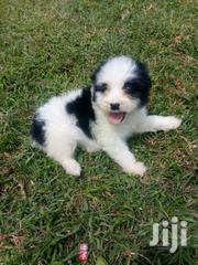 Maltese Puppies   | Dogs & Puppies for sale in Nairobi, Kileleshwa