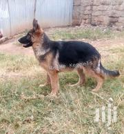 Male German Shepherd Puppy | Dogs & Puppies for sale in Nairobi, Kahawa West