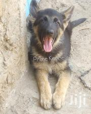 3 Months Old Long Coat German Shepherd Puppies | Dogs & Puppies for sale in Nairobi, Kahawa West