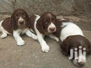 English Springer Spaniel Puppies For Sale | Dogs & Puppies for sale in Nairobi, Karen