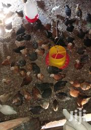 Chicken - Rainbow Rooster   Birds for sale in Kakamega, Shirere