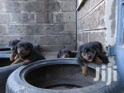 Rottweiler Puppies | Dogs & Puppies for sale in Nairobi, Komarock