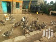 Gooselings. | Livestock & Poultry for sale in Nakuru, Gilgil