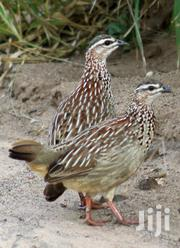 Crested Francolin | Birds for sale in Siaya, North Gem