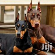 Doberman Puppies Pedigree | Dogs & Puppies for sale in Nairobi, Karura