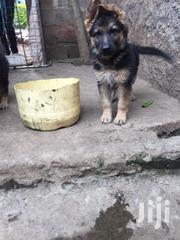 Longcoat German Shephard | Dogs & Puppies for sale in Nairobi, Kahawa
