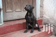American Pitbull Terrier   Dogs & Puppies for sale in Nairobi, Nairobi West