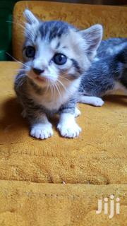 FREE Adorable Kittens | Cats & Kittens for sale in Nairobi, Karen