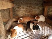 Guinea Pigs | Livestock & Poultry for sale in Nairobi, Nairobi Central
