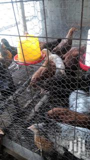 Pre - Laying (4 Month-old) Improved Kienyeji Birds | Livestock & Poultry for sale in Bungoma, Khalaba (Kanduyi)
