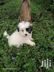 Chiwawa Available | Dogs & Puppies for sale in Nairobi, Nairobi Central