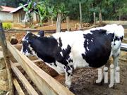 Freshian Cow | Livestock & Poultry for sale in Meru, Abothuguchi Central