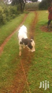 Heifer One Month And Half Old | Other Animals for sale in Kericho, Chepseon
