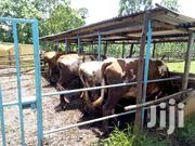 Dairy Cows And Heifers On Sale | Livestock & Poultry for sale in Trans-Nzoia, Kwanza