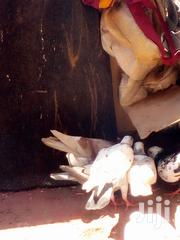 Pigeon And Dove | Birds for sale in Nairobi, Baba Dogo
