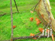 Pasture-raised Kenbro Naked-neck Meat Chicken | Livestock & Poultry for sale in Nyandarua, Central Ndaragwa