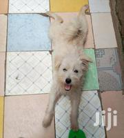 Young Male Purebred American Eskimo Dog | Dogs & Puppies for sale in Mombasa, Shanzu