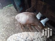 Large Sheep From Masaai | Livestock & Poultry for sale in Kiambu, Riabai
