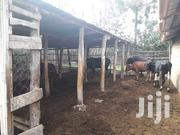 Cows For Sale | Livestock & Poultry for sale in Machakos, Syokimau/Mulolongo