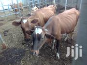 Health Cows Producing Alot Of Milk | Other Animals for sale in Kajiado, Kitengela