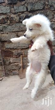 Baby Male Purebred Japanese Spitz | Dogs & Puppies for sale in Kiambu, Murera