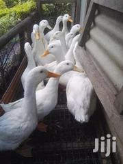 Ornamental Pekin (Jumbo) Ducks For Sale | Livestock & Poultry for sale in Nairobi, Ruai