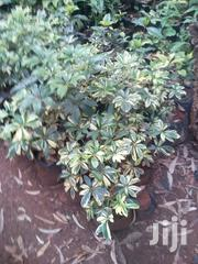 Bougainvillea | Garden for sale in Nairobi, Karen