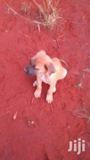 Boerboel (Trained) | Dogs & Puppies for sale in Nairobi, Karura