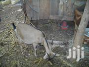 Dairy Goat And Geese For Sale | Other Animals for sale in Embu, Kithimu
