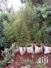 Bamboo Seedlings For Sale | Garden for sale in Nairobi, Karen