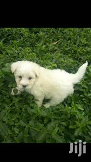 Young Female Purebred Maltese | Dogs & Puppies for sale in Kiambu, Ndenderu