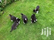 Top Quality Siberain Puppies | Dogs & Puppies for sale in Nairobi, Airbase