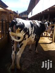 Cows / Cattle On Sale | Other Animals for sale in Kiambu, Githunguri